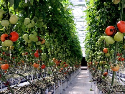 A greenhouse farming