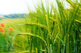 Article diseases of wheat