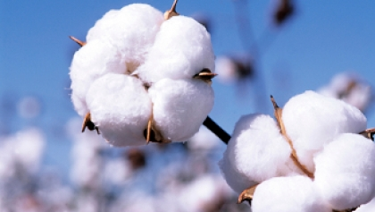 Internship report reviews the different varieties of cotton