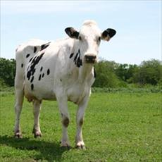Test project results in dairy cows