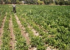 Required rate of potash in sugar beet