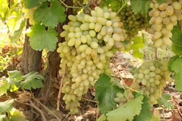 Paper growing grapes and raisins in Iran and other countries.