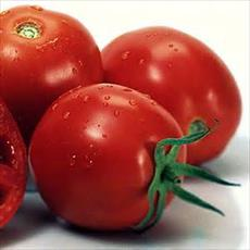The preparation of a feasibility study on tomato