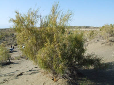 Article importance of trees in desert