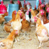 Article poultry diseases