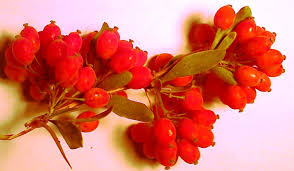 Barberry Paper