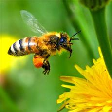 PowerPoint reproduction and organization of bees