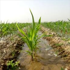 Effects of salinity on stomatal response and solute accumulation of maize genotypes